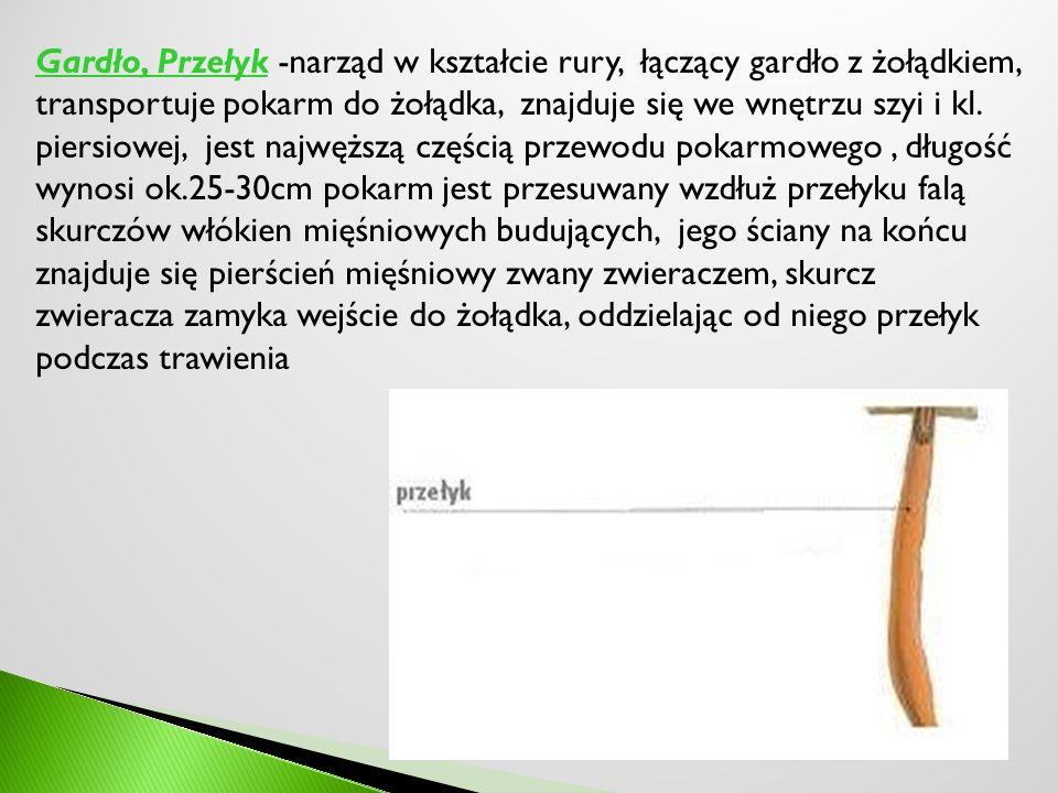 Gardło, Przełyk -narząd w kształcie rury, łączący gardło z żołądkiem, transportuje pokarm do żołądka, znajduje się we wnętrzu szyi i kl. piersiowej, j