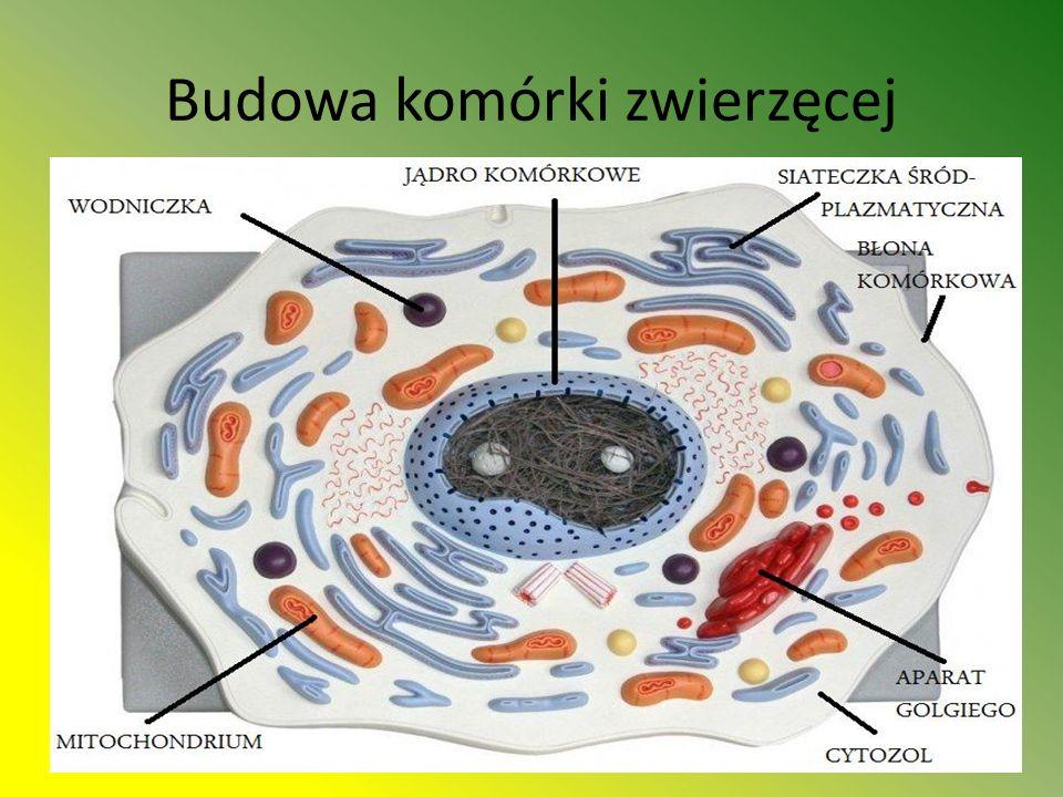 Budowa komórki zwierzęcej