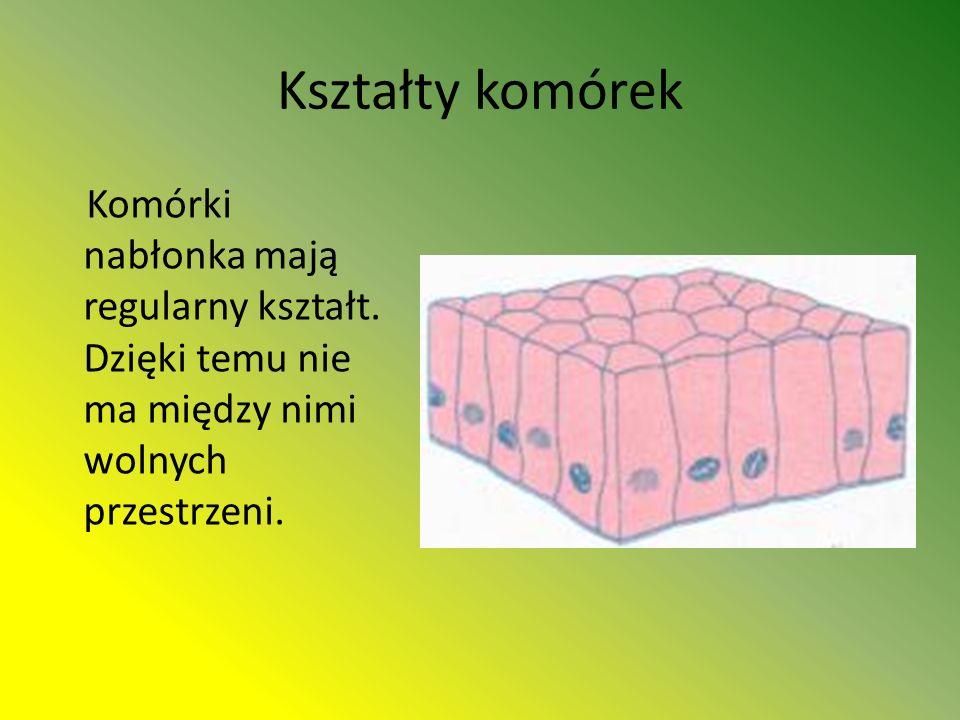 Kształty komórek Komórki nabłonka mają regularny kształt.