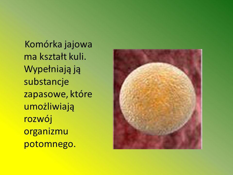 Komórka jajowa ma kształt kuli.
