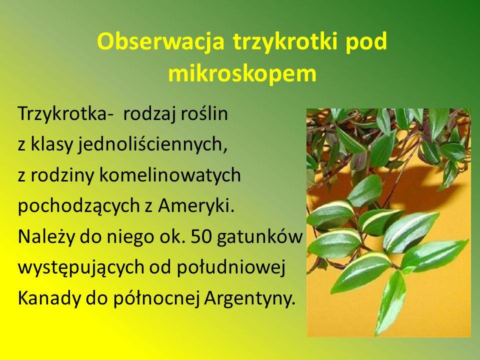 Obserwacja trzykrotki pod mikroskopem Trzykrotka- rodzaj roślin z klasy jednoliściennych, z rodziny komelinowatych pochodzących z Ameryki.