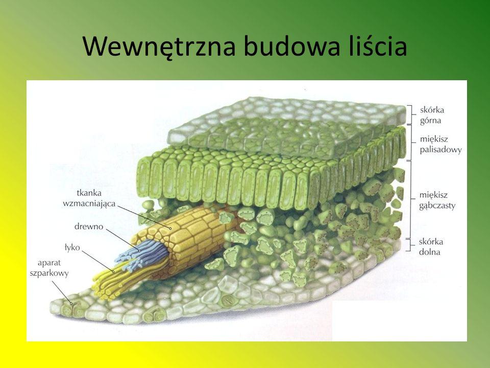 Wewnętrzna budowa liścia