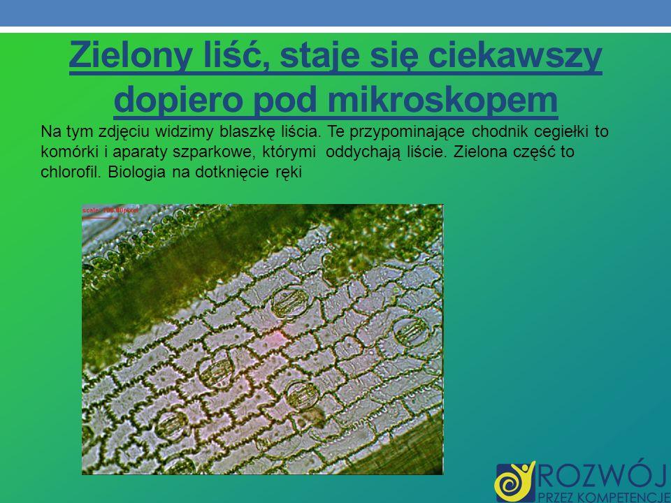 Zielony liść, staje się ciekawszy dopiero pod mikroskopem Na tym zdjęciu widzimy blaszkę liścia. Te przypominające chodnik cegiełki to komórki i apara