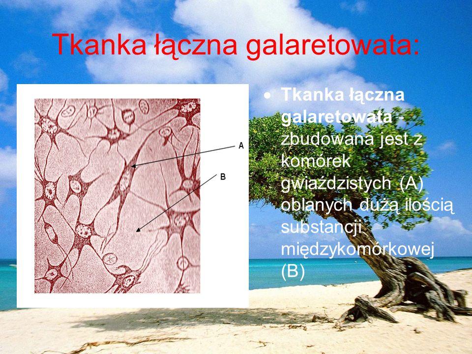 Tkanka łączna galaretowata: Tkanka łączna galaretowata - zbudowana jest z komórek gwiaździstych (A) oblanych dużą ilością substancji międzykomórkowej