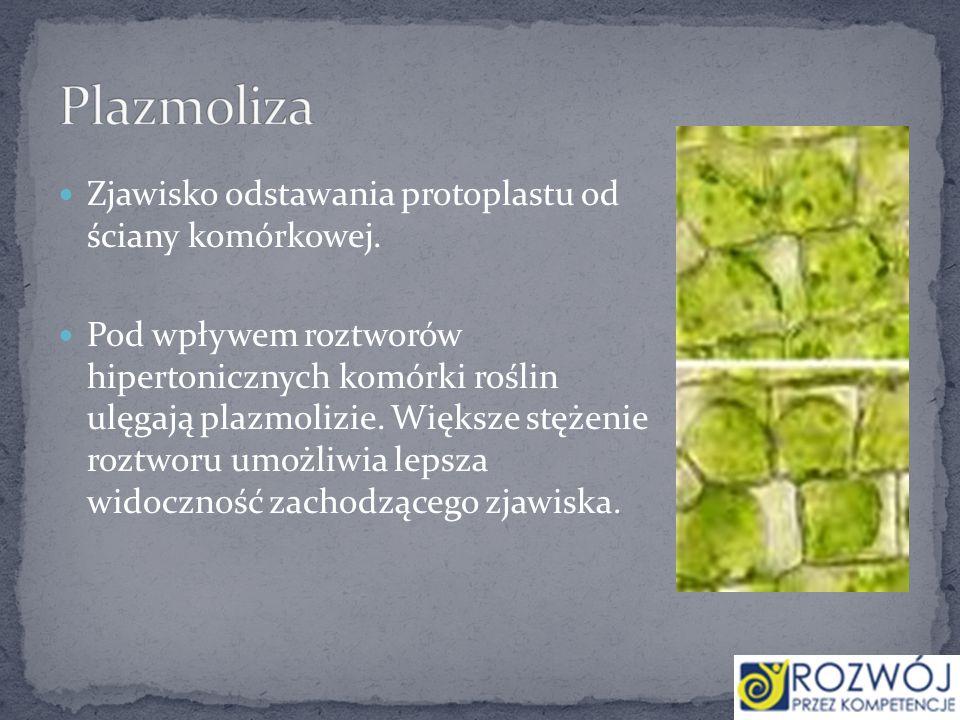 Zjawisko odstawania protoplastu od ściany komórkowej. Pod wpływem roztworów hipertonicznych komórki roślin ulęgają plazmolizie. Większe stężenie roztw