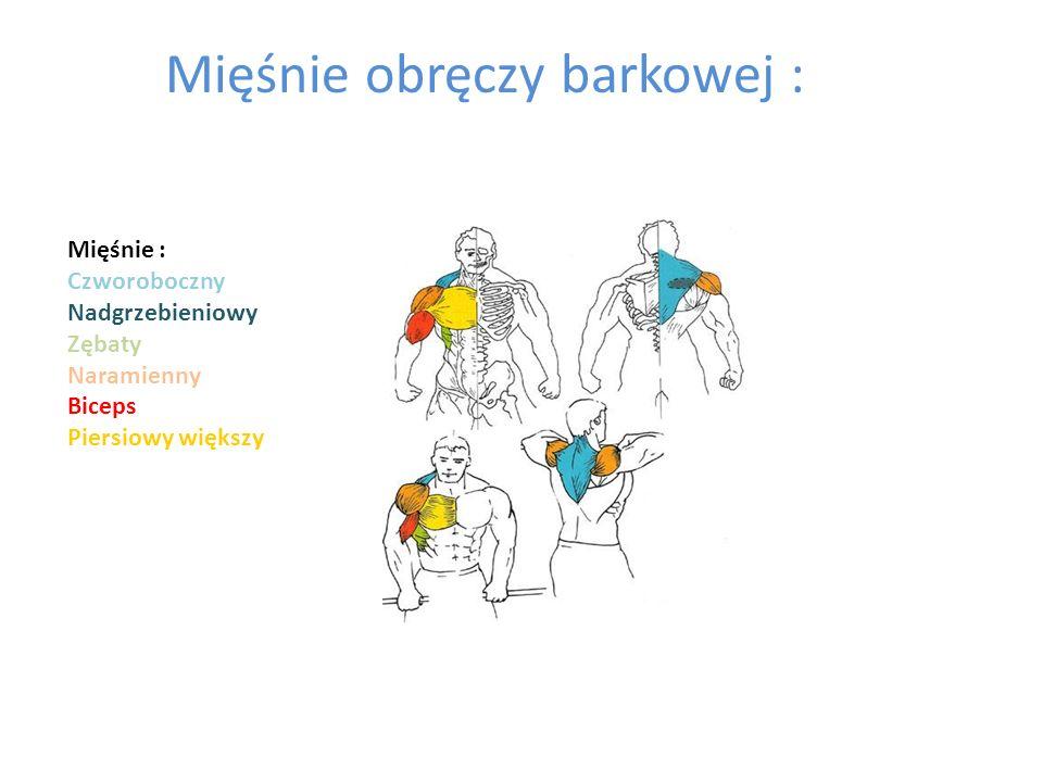 Mięśnie obręczy barkowej : Mięśnie : Czworoboczny Nadgrzebieniowy Zębaty Naramienny Biceps Piersiowy większy