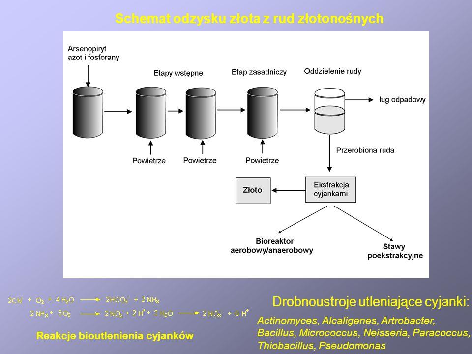 Schemat odzysku złota z rud złotonośnych Reakcje bioutlenienia cyjanków Drobnoustroje utleniające cyjanki: Actinomyces, Alcaligenes, Artrobacter, Bacillus, Micrococcus, Neisseria, Paracoccus, Thiobacillus, Pseudomonas