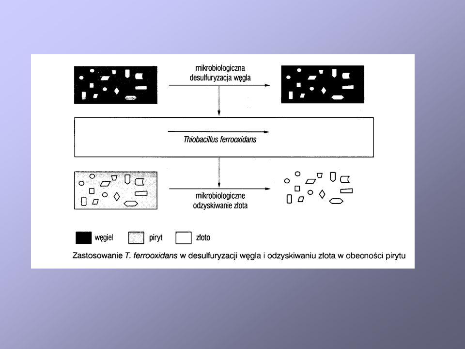 Alternatywne szlaki biodegradacji DBT Szlak 4 S jest realizowany w komórkach Rhodococcus.