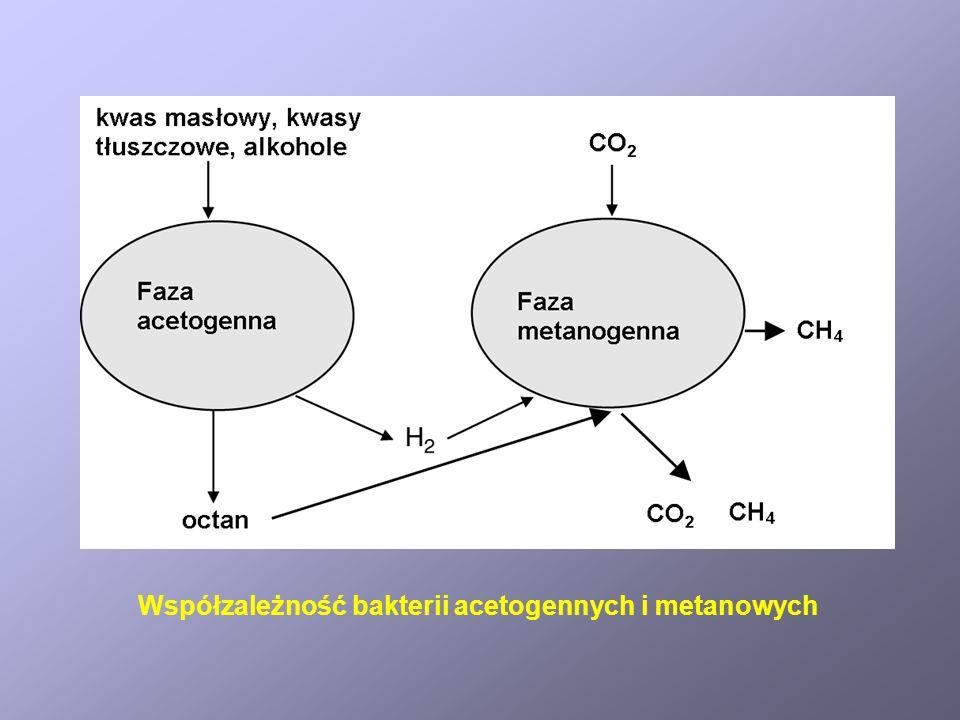 Współzależność bakterii acetogennych i metanowych