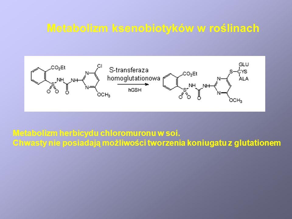 Metabolizm herbicydu chloromuronu w soi. Chwasty nie posiadają możliwości tworzenia koniugatu z glutationem Metabolizm ksenobiotyków w roślinach