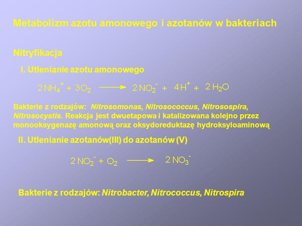 Metabolizm azotu amonowego i azotanów w bakteriach Nitryfikacja I. Utlenianie azotu amonowego Bakterie z rodzajów: Nitrosomonas, Nitrosococcus, Nitros