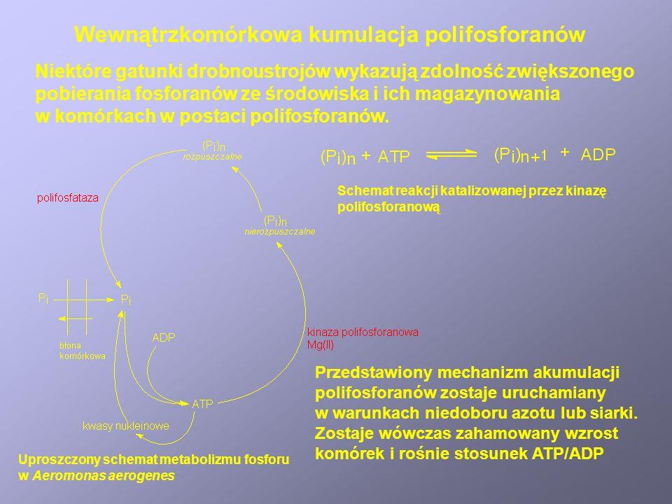 Wewnątrzkomórkowa kumulacja polifosforanów Niektóre gatunki drobnoustrojów wykazują zdolność zwiększonego pobierania fosforanów ze środowiska i ich ma