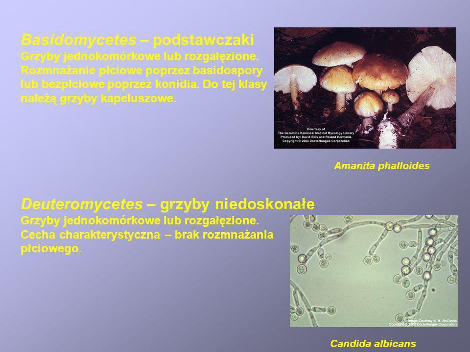 Basidomycetes – podstawczaki Grzyby jednokomórkowe lub rozgałęzione. Rozmnażanie płciowe poprzez basidospory lub bezpłciowe poprzez konidia. Do tej kl