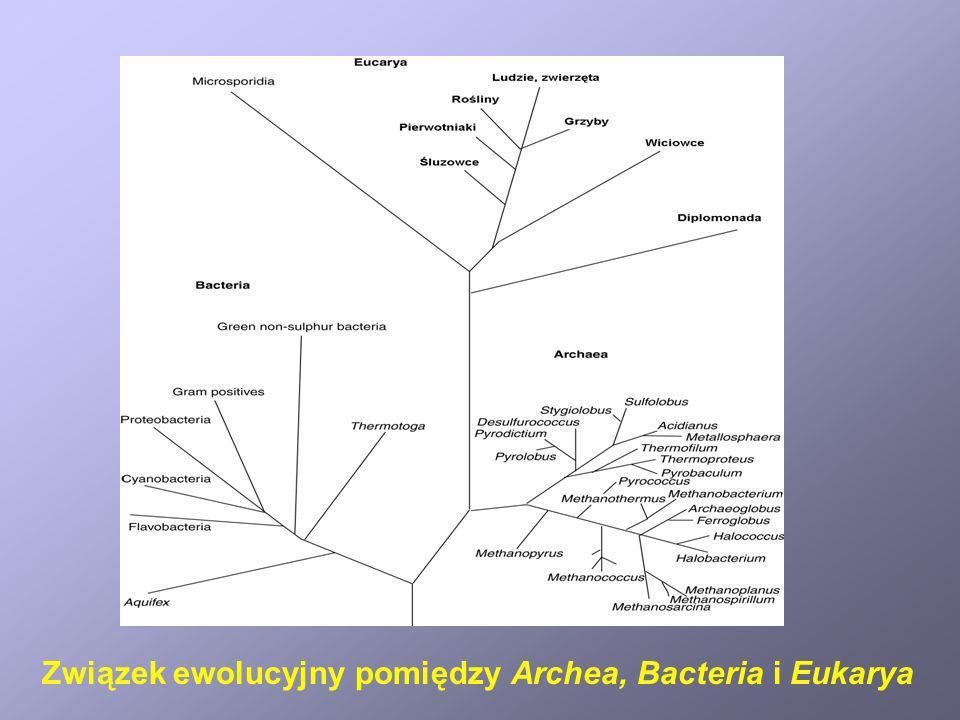 CechaArcheaBacteriaEukarya Genom Błona jądrowa Histony Ilość DNA/komórkę Pozachromosomalne DNA Chloroplasty i mitochondria DNA w organellach Rybosomy Rybosomy w organellach Inicjatorowy tRNA Błona cytoplazmatyczna Ściana komórkowa Tworzenie spor Pojedynczy, kolisty Brak 5 10 -15 g Obecne Brak 70 S, wrażliwe na toksynę dyfterytu Brak Met Glicerol/izopren Polisacharydy Nie Pojedynczy, kolisty Brak 5 10 -15 g Obecne Brak 70 S, oporne na toksynę dyfterytu Brak N-formylo-Met Fosfolipidy Peptydoglikan Tak, u niektórych Liniowe chromosomy, >1 Obecna Obecne 0,5 - 3 10 -12 g Obecne 80 S, wrażliwe na toksynę dyfterytu 70 S Met Fosfolipidy/sterole Polisacharydy Tak, u niektórych Różnice pomiędzy Archea, Bacteria i Eukarya