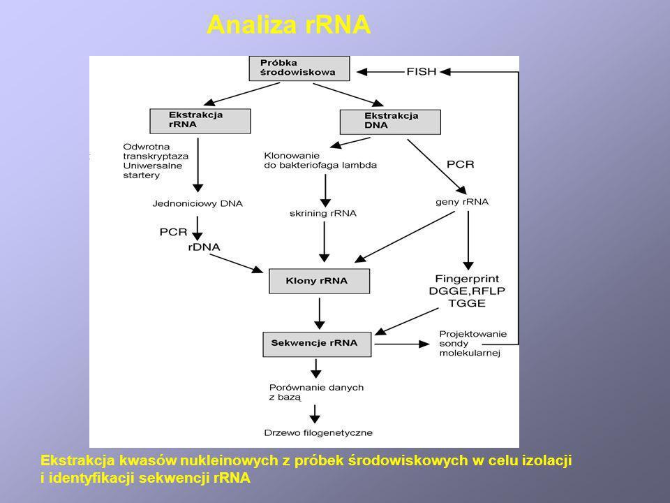 Ekstrakcja kwasów nukleinowych z próbek środowiskowych w celu izolacji i identyfikacji sekwencji rRNA Analiza rRNA