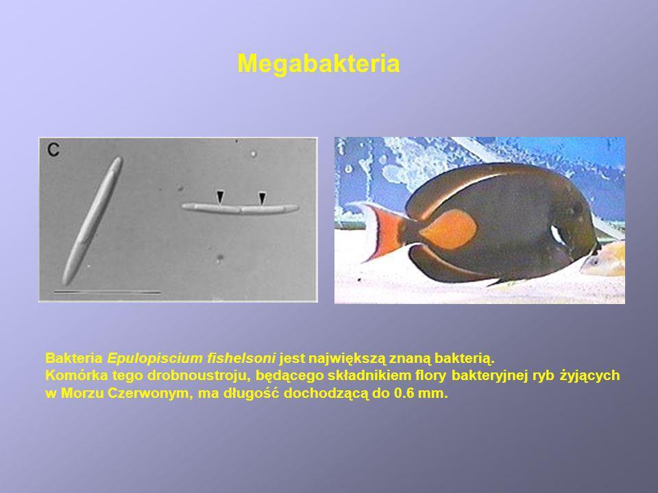 Bakteria Epulopiscium fishelsoni jest największą znaną bakterią. Komórka tego drobnoustroju, będącego składnikiem flory bakteryjnej ryb żyjących w Mor