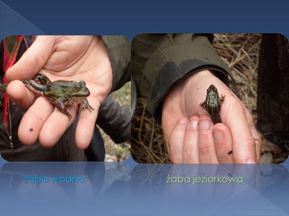 żaba wodna żaba jeziorkowa żaba wodna żaba jeziorkowa
