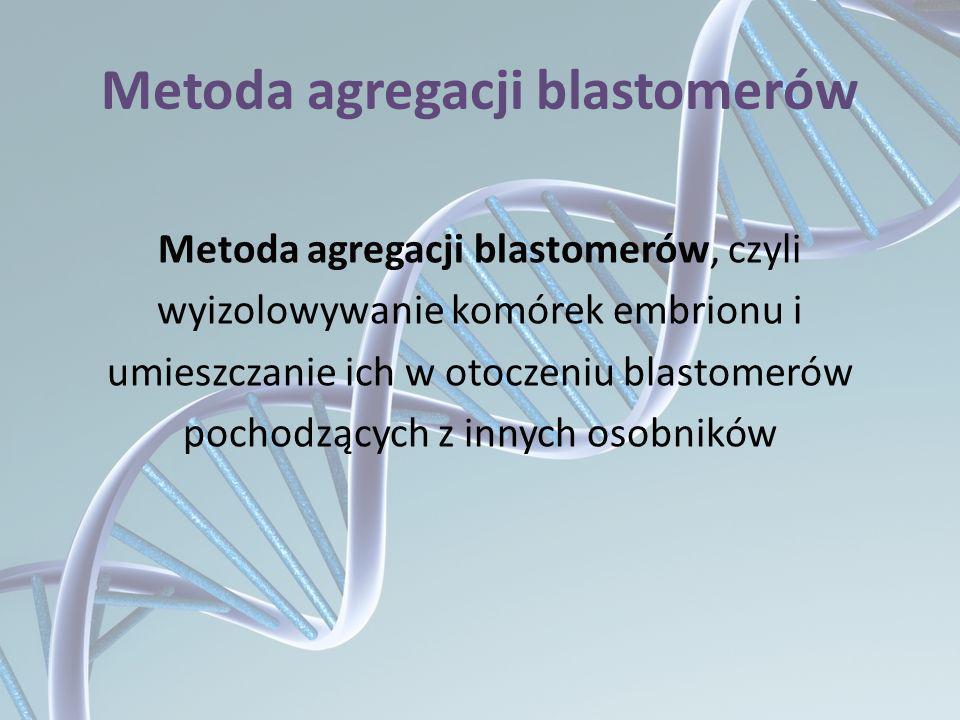 Metoda agregacji blastomerów Metoda agregacji blastomerów, czyli wyizolowywanie komórek embrionu i umieszczanie ich w otoczeniu blastomerów pochodzący