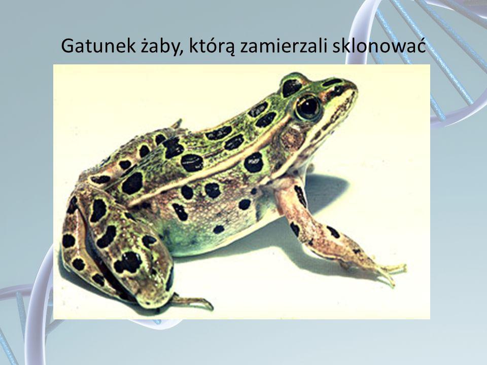 Gatunek żaby, którą zamierzali sklonować