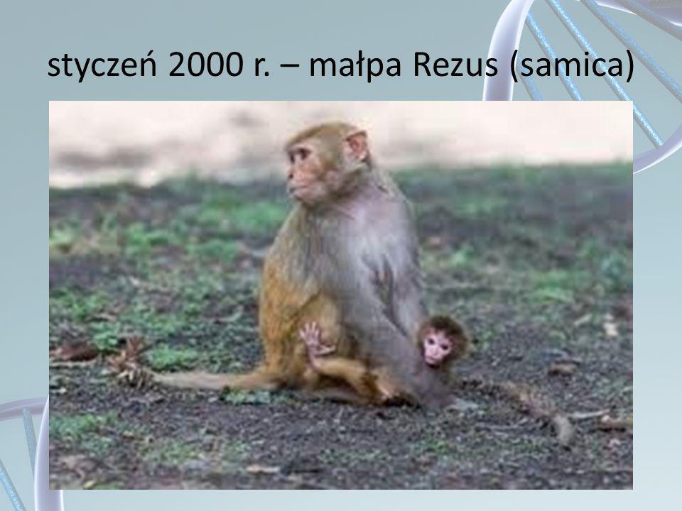 styczeń 2000 r. – małpa Rezus (samica)