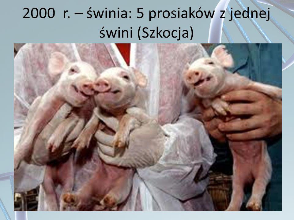 2000 r. – świnia: 5 prosiaków z jednej świni (Szkocja)