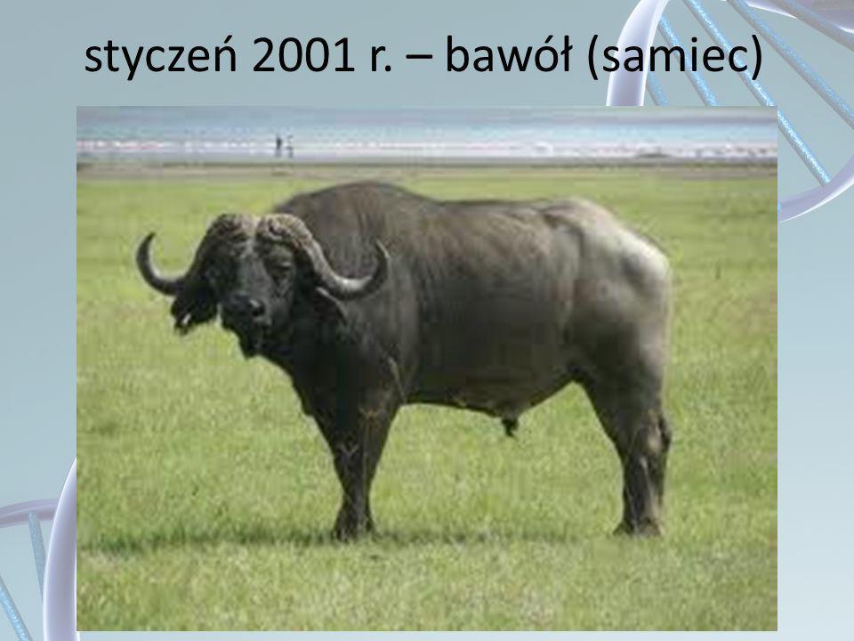 styczeń 2001 r. – bawół (samiec)