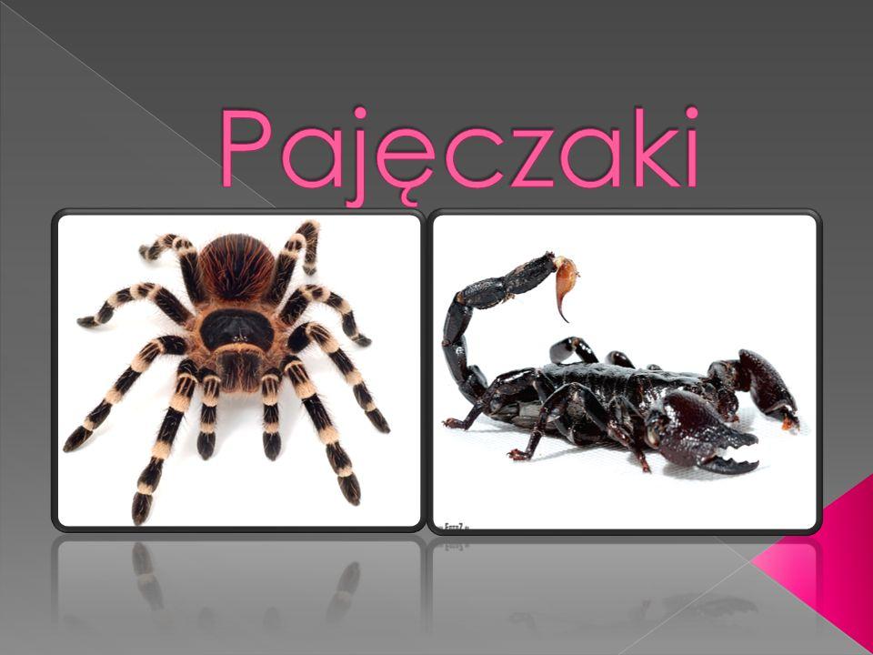Pajęczaki (Arachnida) – gromada stawonogów obejmująca przeszło 61 tys.