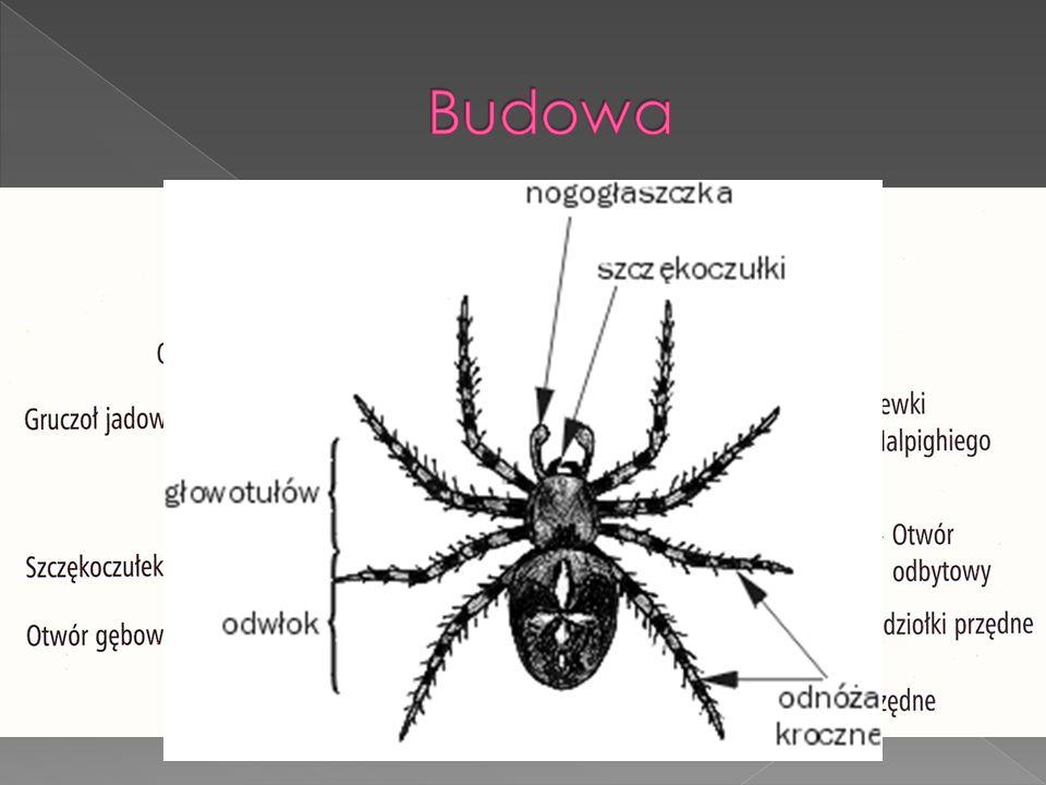 Przedstawiciele pajęczaków osiągają od ok. 0,1 mm do ponad 30 cm długości. Ciało pajęczaka zbudowane jest z dwóch zasadniczych części: część przednia
