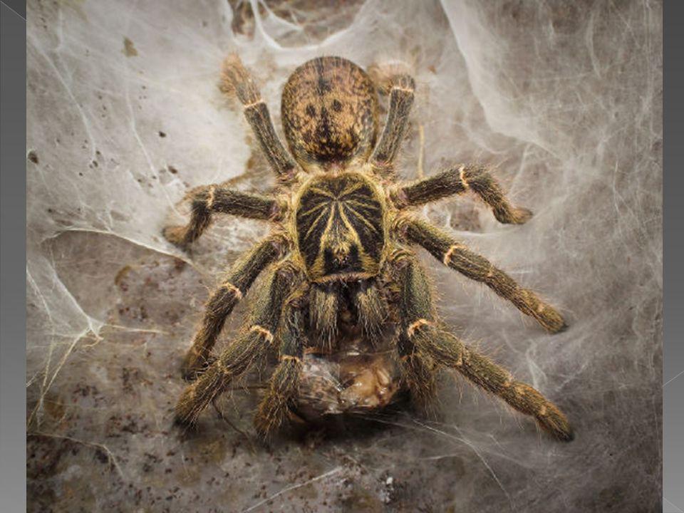 Przeważająca większość pajęczaków to formy drapieżne; niektóre z nich nie gardzą też pokarmem roślinnym. Roztocze odżywiają się resztkami organicznymi