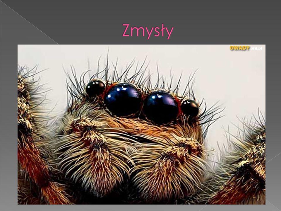 Dotyk jest to podstawowy zmysł pająka. Włoski są odpowiedzialne za wyczuwanie drgań sieci, Węch Narządy węchowe zlokalizowane są na górnej stronie sto