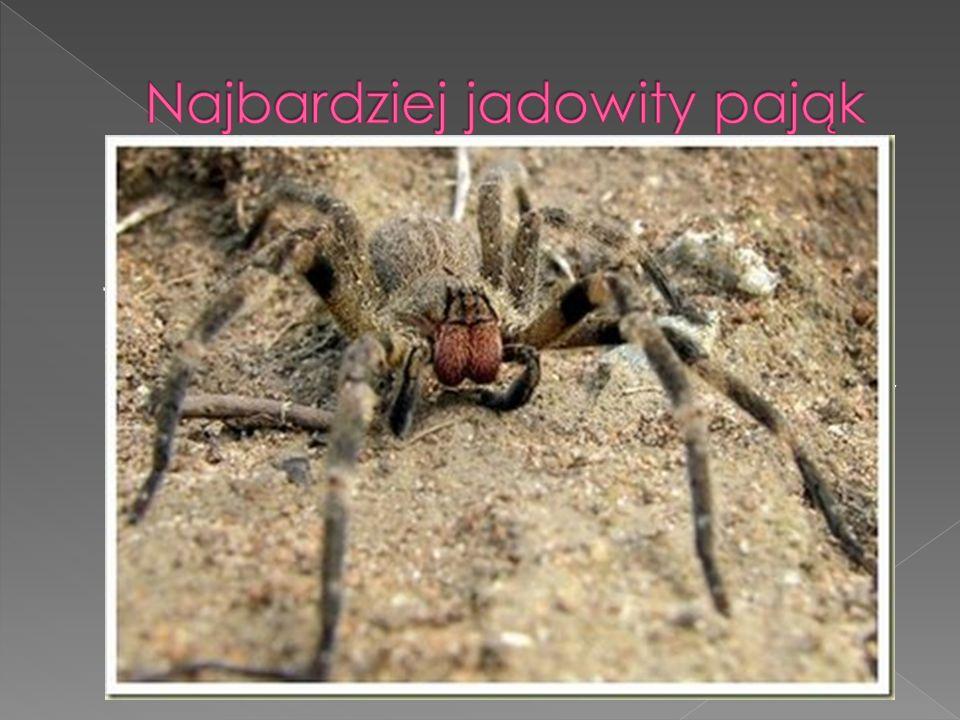 Wałęsak brazylijski pojawił się w Księdze rekordów Guinnessa w 2007 r. jako najbardziej jadowity pająk i jest odpowiedzialny za najwięcej śmierci spow