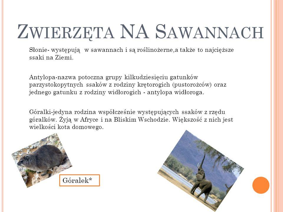 Z WIERZĘTA NA S AWANNACH Słonie- występują w sawannach i są roślinożerne,a także to najcięższe ssaki na Ziemi. Antylopa-nazwa potoczna grupy kilkudzie