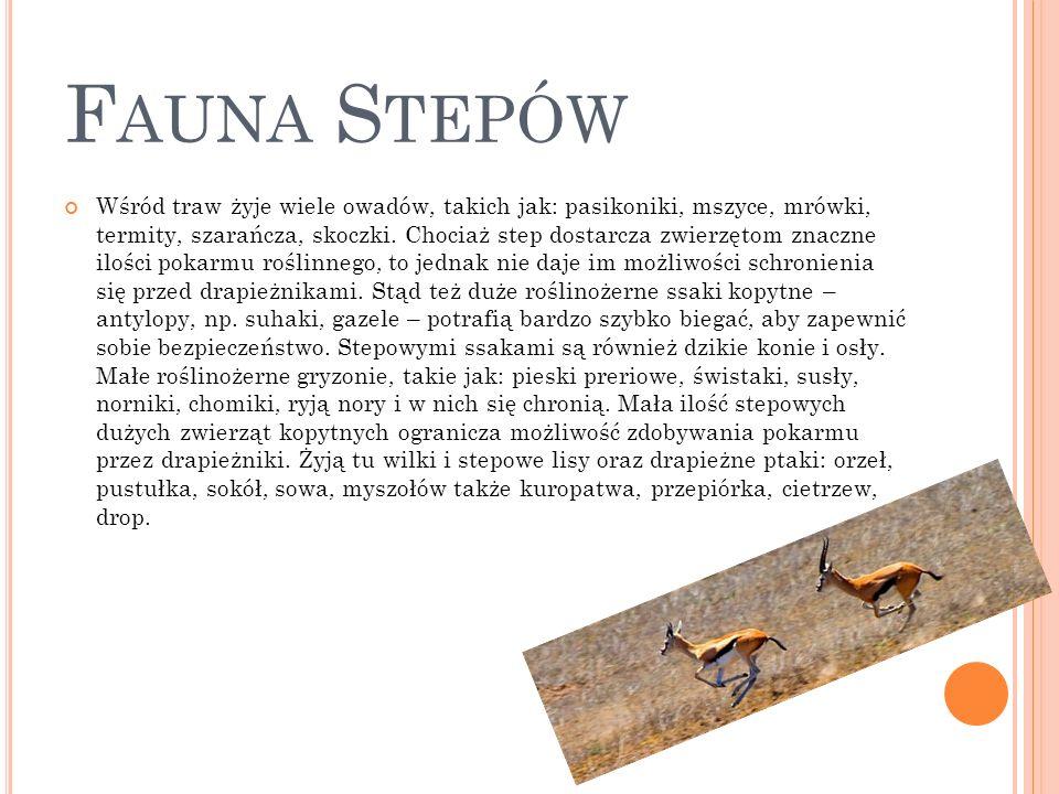 F AUNA S TEPÓW Wśród traw żyje wiele owadów, takich jak: pasikoniki, mszyce, mrówki, termity, szarańcza, skoczki. Chociaż step dostarcza zwierzętom zn