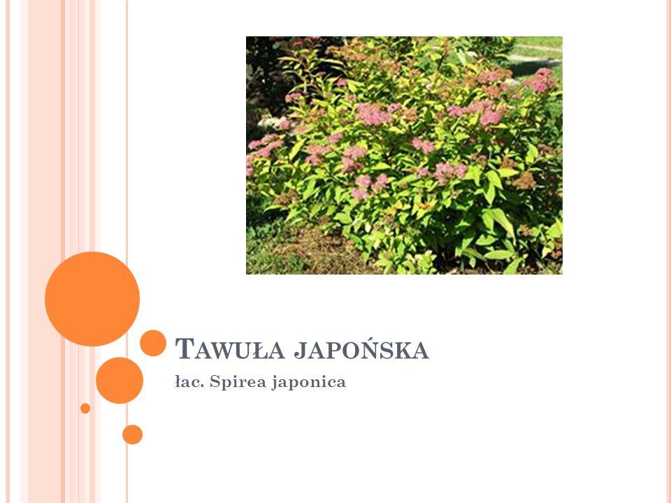 T AWUŁA JAPOŃSKA łac. Spirea japonica
