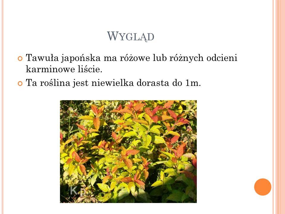 W YGLĄD Tawuła japońska ma różowe lub różnych odcieni karminowe liście. Ta roślina jest niewielka dorasta do 1m.