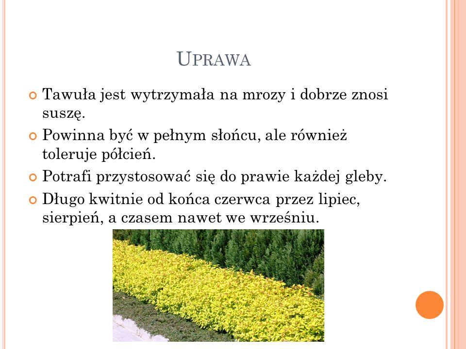 U PRAWA Tawuła jest wytrzymała na mrozy i dobrze znosi suszę. Powinna być w pełnym słońcu, ale również toleruje półcień. Potrafi przystosować się do p