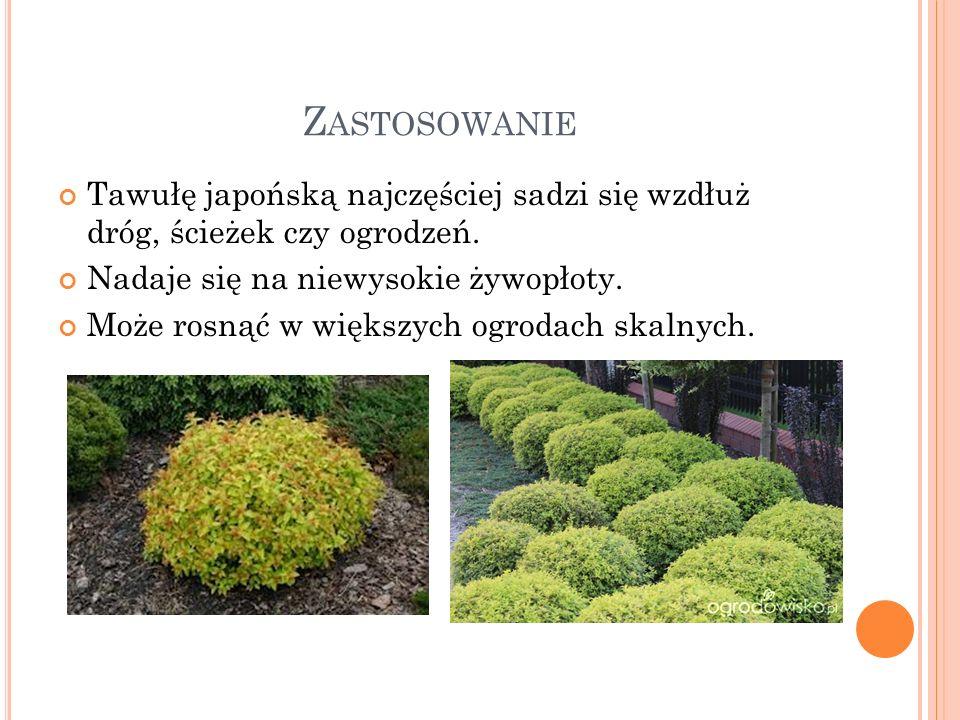 Z ASTOSOWANIE Tawułę japońską najczęściej sadzi się wzdłuż dróg, ścieżek czy ogrodzeń. Nadaje się na niewysokie żywopłoty. Może rosnąć w większych ogr