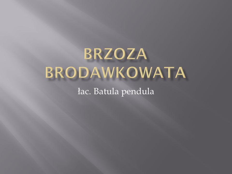 łac. Batula pendula