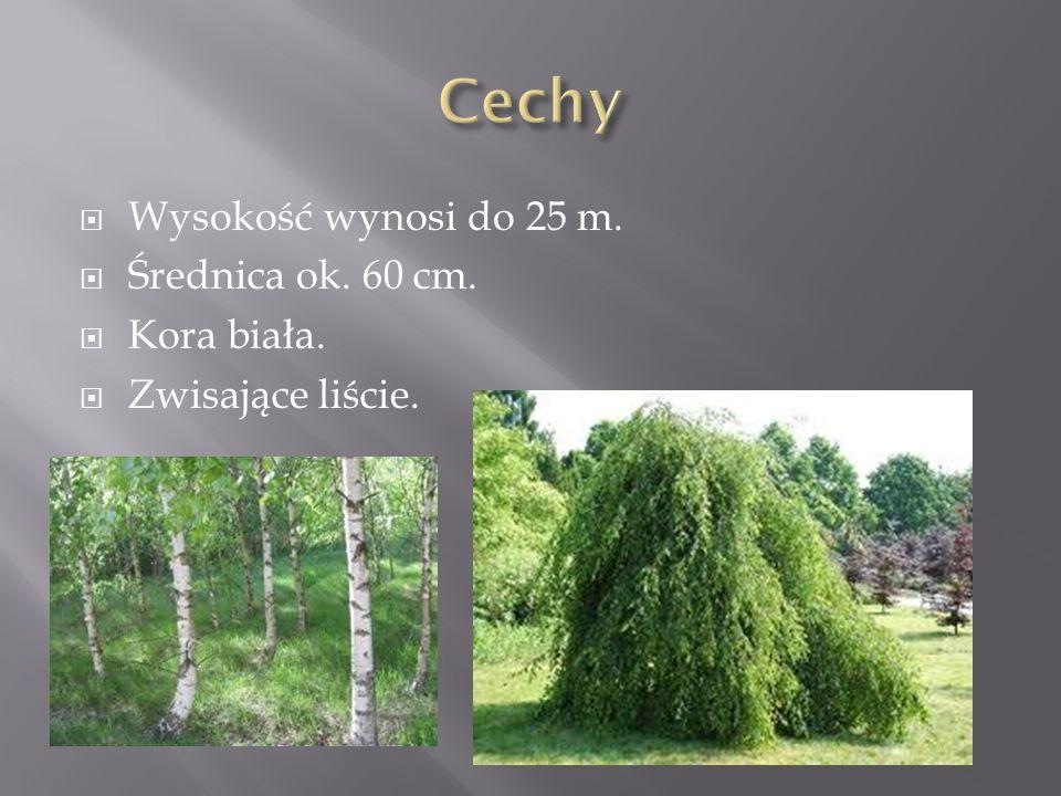 Wysokość wynosi do 25 m. Średnica ok. 60 cm. Kora biała. Zwisające liście.