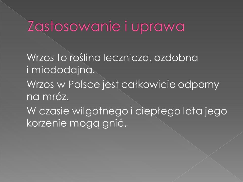 Wrzos to roślina lecznicza, ozdobna i miododajna. Wrzos w Polsce jest całkowicie odporny na mróz. W czasie wilgotnego i ciepłego lata jego korzenie mo