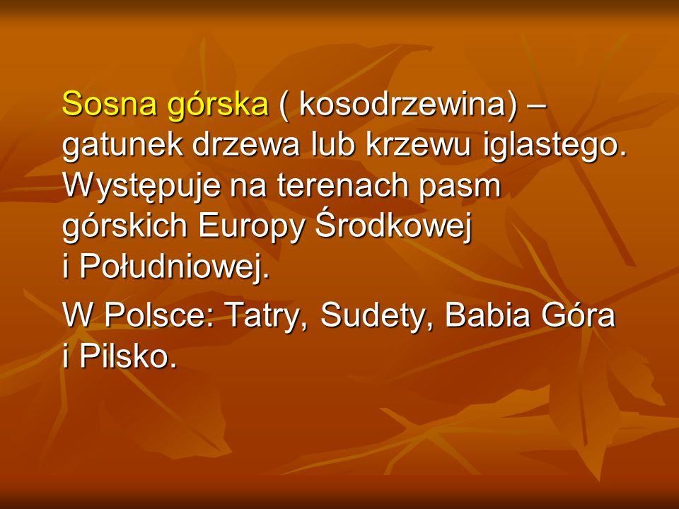 Sosna górska ( kosodrzewina) – gatunek drzewa lub krzewu iglastego. Występuje na terenach pasm górskich Europy Środkowej i Południowej. Sosna górska (