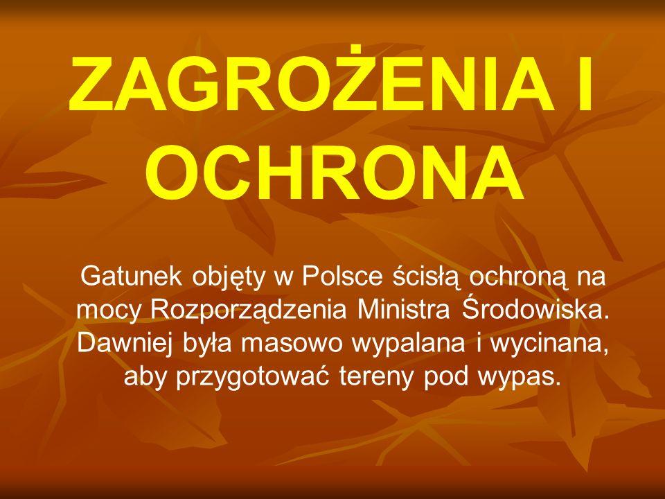 ZAGROŻENIA I OCHRONA Gatunek objęty w Polsce ścisłą ochroną na mocy Rozporządzenia Ministra Środowiska. Dawniej była masowo wypalana i wycinana, aby p
