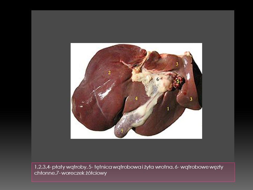 1,2,3,4- płaty wątroby. 5- tętnica wątrobowa i żyła wrotna. 6- wątrobowe węzły chłonne.7- woreczek żółciowy