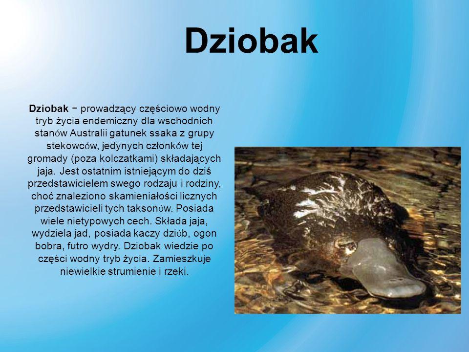 Dziobak prowadzący częściowo wodny tryb życia endemiczny dla wschodnich stan ó w Australii gatunek ssaka z grupy stekowc ó w, jedynych członk ó w tej
