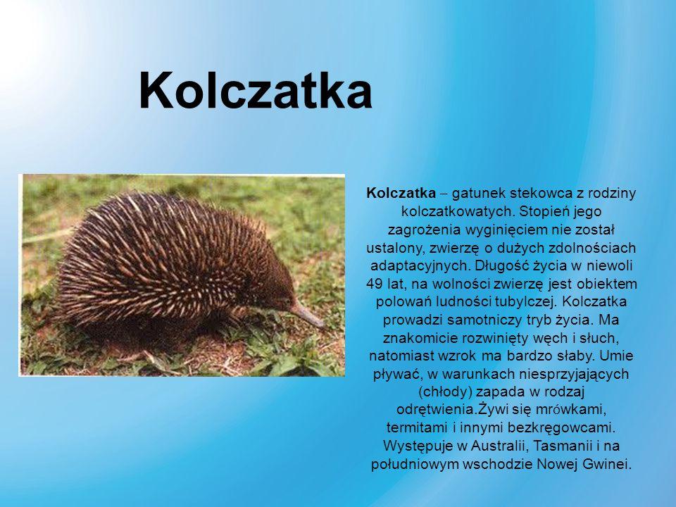Kolczatka – gatunek stekowca z rodziny kolczatkowatych. Stopień jego zagrożenia wyginięciem nie został ustalony, zwierzę o dużych zdolnościach adaptac
