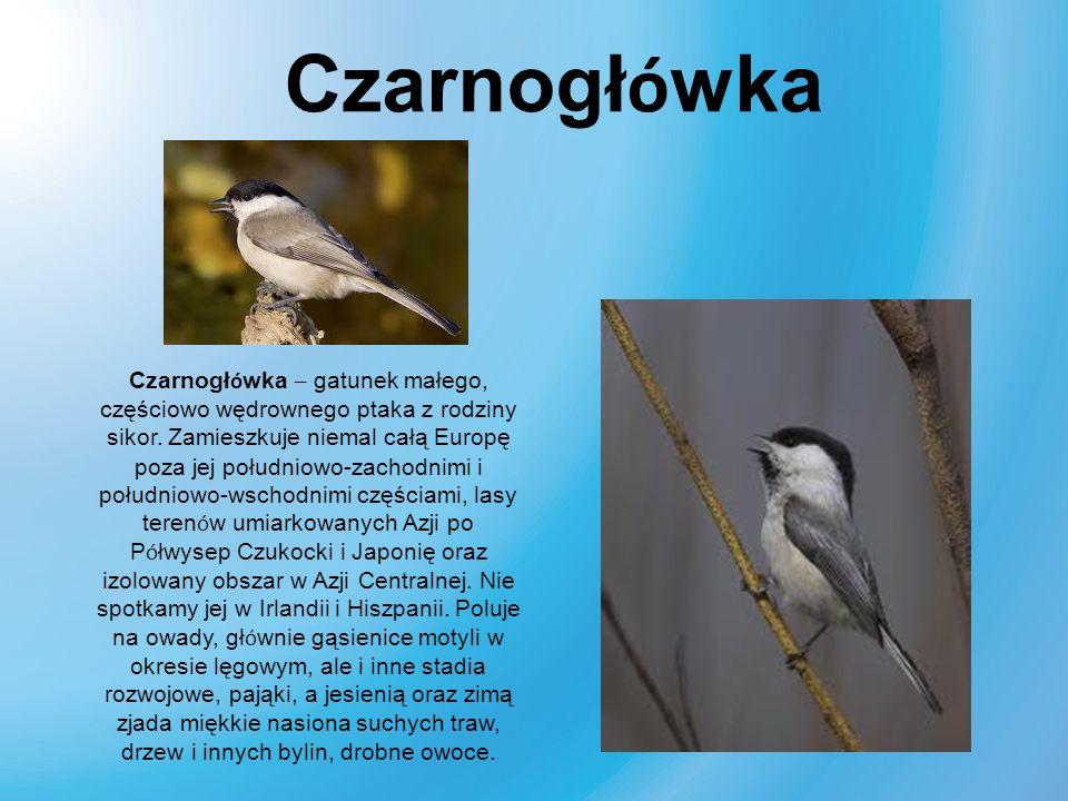 Czarnogł ó wka – gatunek małego, częściowo wędrownego ptaka z rodziny sikor. Zamieszkuje niemal całą Europę poza jej południowo-zachodnimi i południow