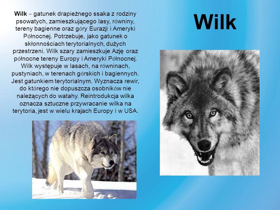 Wilk – gatunek drapieżnego ssaka z rodziny psowatych, zamieszkującego lasy, r ó wniny, tereny bagienne oraz g ó ry Eurazji i Ameryki P ó łnocnej. Potr