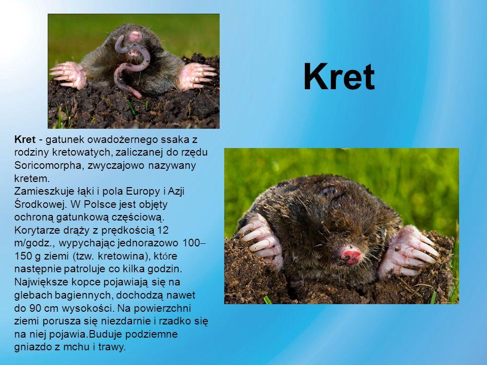 Kret - gatunek owadożernego ssaka z rodziny kretowatych, zaliczanej do rzędu Soricomorpha, zwyczajowo nazywany kretem. Zamieszkuje łąki i pola Europy