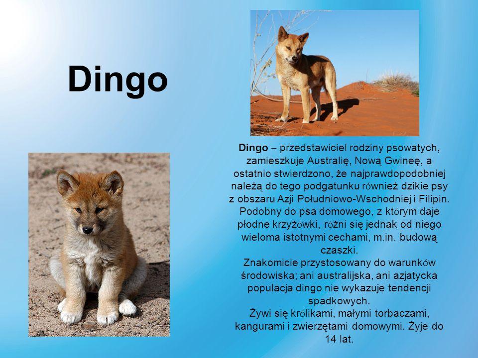 Dingo – przedstawiciel rodziny psowatych, zamieszkuje Australię, Nową Gwineę, a ostatnio stwierdzono, że najprawdopodobniej należą do tego podgatunku