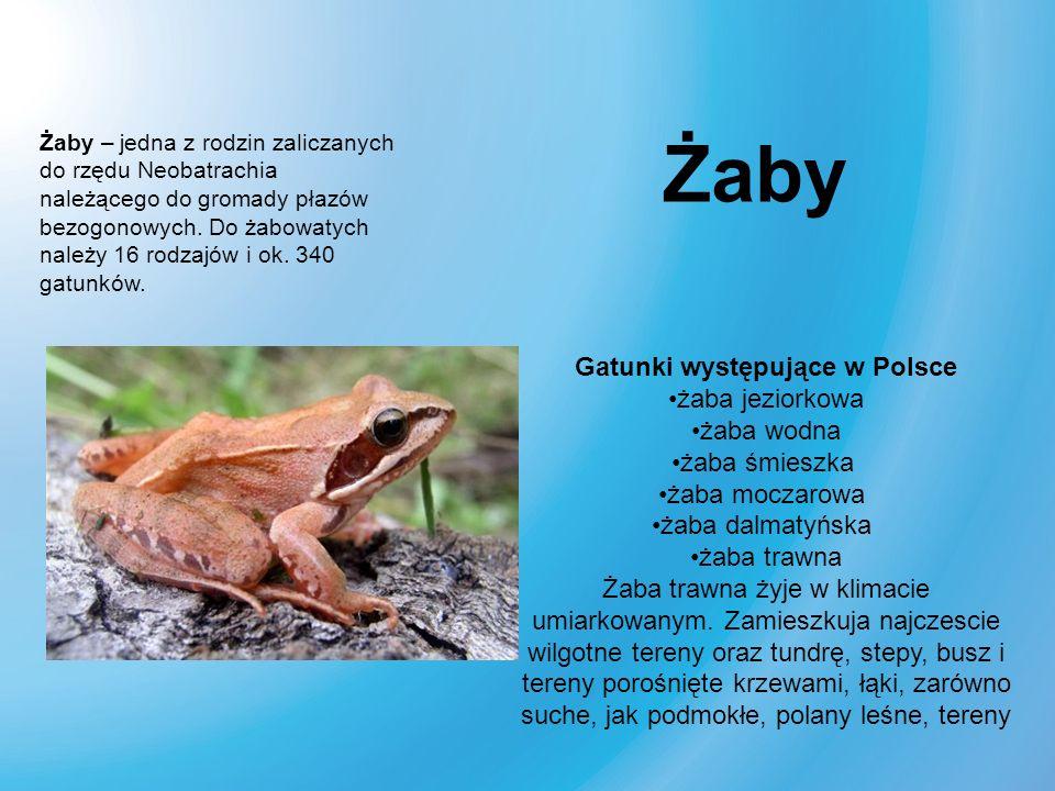 Żaby – jedna z rodzin zaliczanych do rzędu Neobatrachia należącego do gromady płazów bezogonowych. Do żabowatych należy 16 rodzajów i ok. 340 gatunków